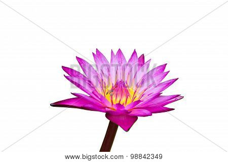 Purple Waterlily With Yellow Center On Green Leafs Background, Clipping Path Included
