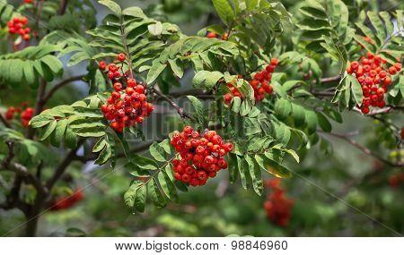 Rowan Ash Berries