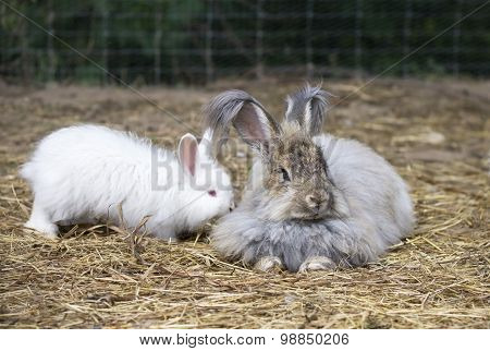 Angora Rabbits On A Straw
