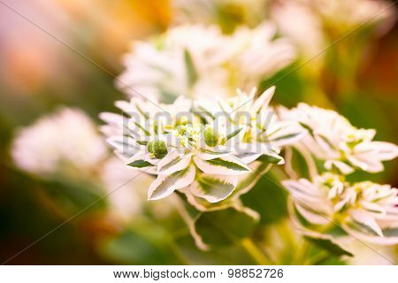 White flowers - lit by the sunbeams