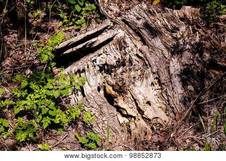 wrinkled bark of an old stump