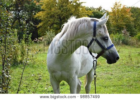 Profile horse light gray suit on the background of an apple orchard