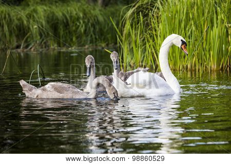 Young Swans Are Swimming Together In The Hancza River, Poland.