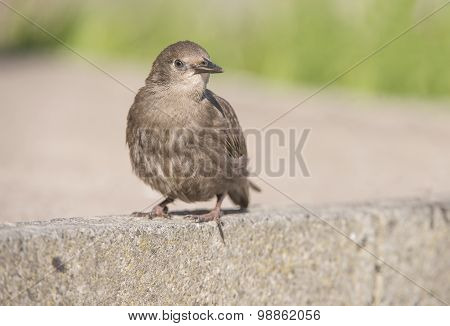 Starling juvenile on the pavement close up