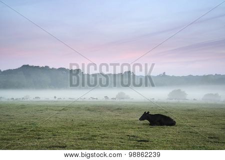 Cattle In Field During Misty Sunrise In English Countryside
