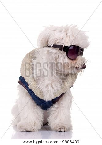 WLL gekleidet Bichon Malteser
