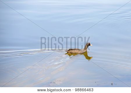 Young Black Duck