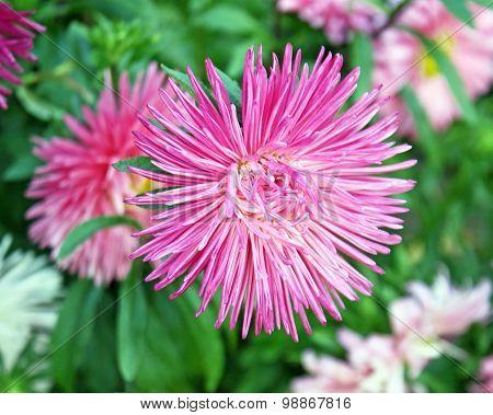 The ASTER flower - a garden favorite