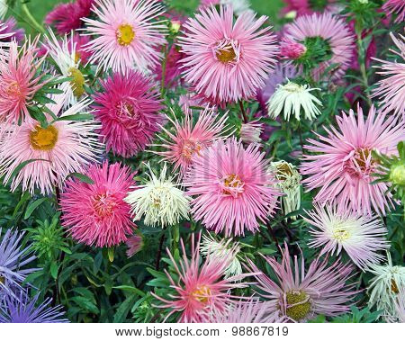Delicate and dainty blooms in soft pastel colors of the ASTER flower - a garden favorite