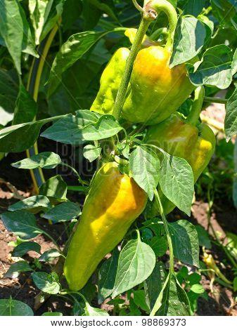 Fresh Sweet Pepper On Garden Bed.