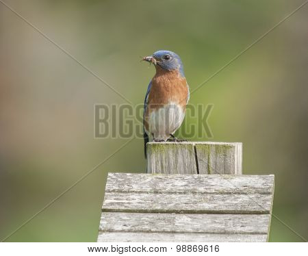 Bluebird With Wasp