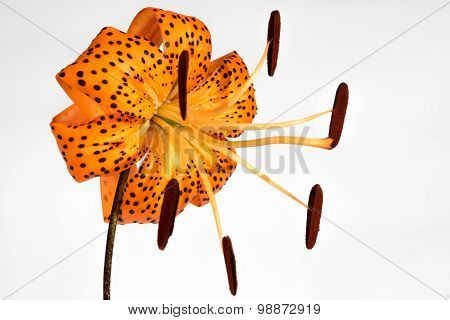 Orange Tiger Lily Isolated