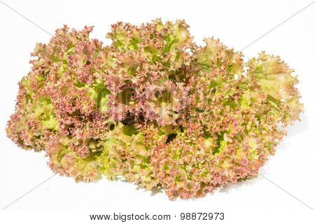 Fresh Red And Green Lettuce Isolated On White Background