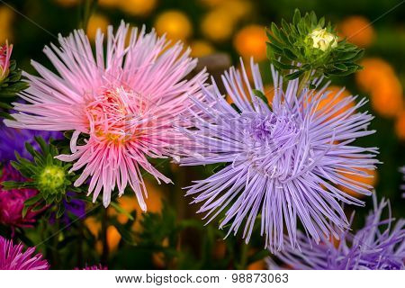 Aster Flowers In Natural Background