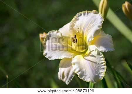 One Beautiful Hemerocallis, Yellow Flower In The Garden