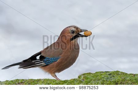 Eurasian Jay with acorn