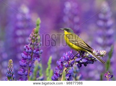 Yellow Wagtail on lupine flower