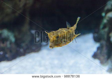 Longhorn cowfish, Lactoria cornuta