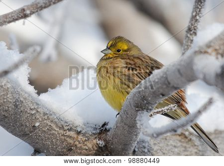 Yellowhammer on rimed branch