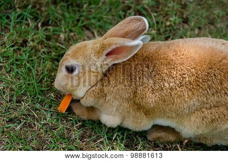 Beautiful Red Rabbit On Grass