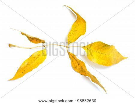 Yellow Autumnal Ash-tree Leaves On White Background