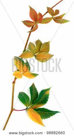 Multicolor Autumnal Twig Of Grapes Leaves, Parthenocissus Quinquefolia Foliage