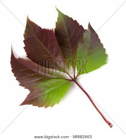 Multicolor Autumnal Virginia Creeper Leaf