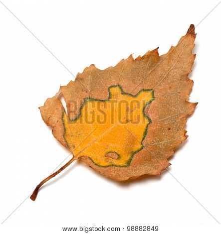 Autumn Birch Leaf