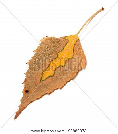 Dry Multicolor Autumn Leaf Of Birch
