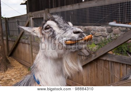 Goat chewing bread