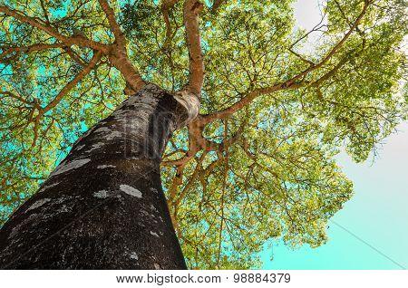 canopy tree (ceiba-speciosa)