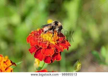 Bumblebee pollinating marigold