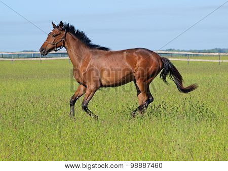Bay  filly galloping on pasture