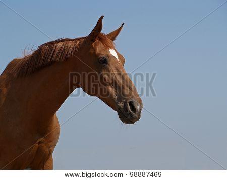 Portrait of purebred chestnut mare