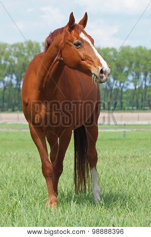 Brightly chestnut horse grazes on  pasture