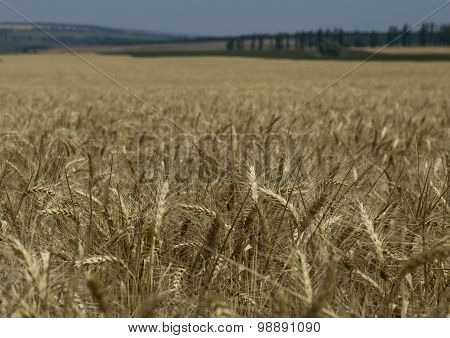 Horizon Of A Wheat Field Cleaning Stage