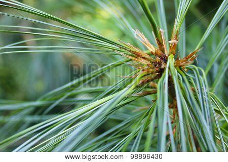 Pinus needles