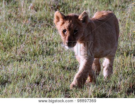 Wild African Lion Cub
