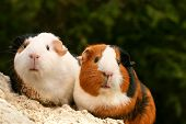stock photo of guinea pig  - two guinea pigs looking at the viewer - JPG