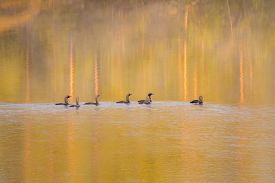 pic of loon  - flock of loons in water at sunrise - JPG