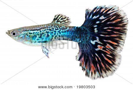 Guppy Fish. Poecilia Reticulata