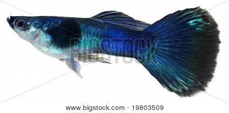 Dark Blue Guppy Fish. Poecilia Reticulata