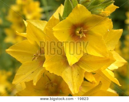 Yellow Loosestrife 01