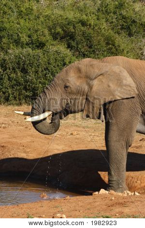 Elefante bebiendo trompeta estilo