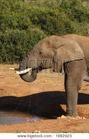 Elephant Drinking Trumpet Style