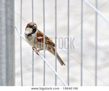 A sparrow perched on a fence