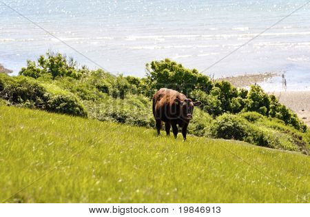 Uma vaca junto ao mar