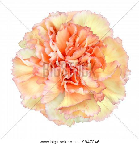 Pink Yellow Carnation Flower
