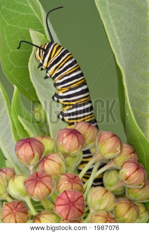 Monarch Caterpillar On Milkweed 9