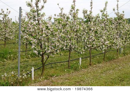 cordon apple trees with surface irrigation system